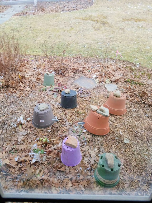 hellebores covered with pots to protect from frigid cold.