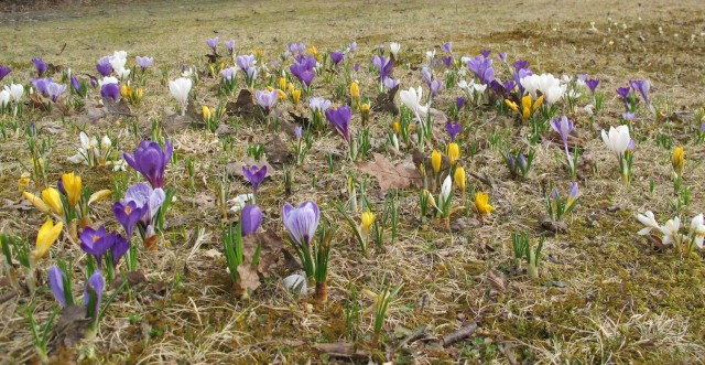 Two years' crocus planting