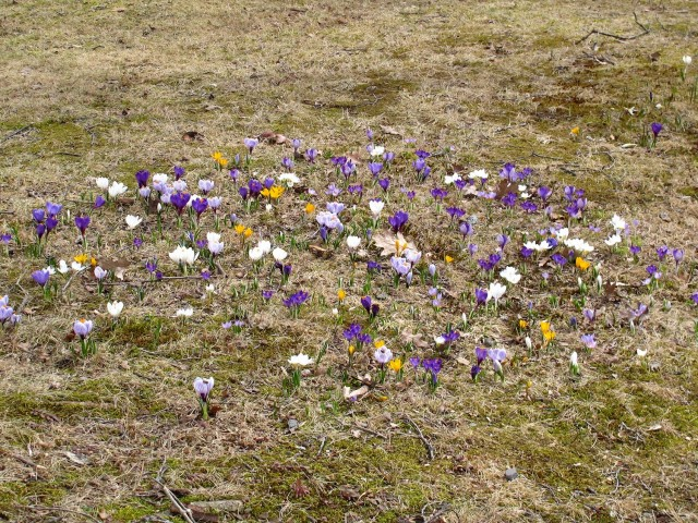 crocus in the lawn
