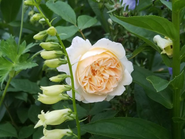 crown princess margareta and yellow foxglove
