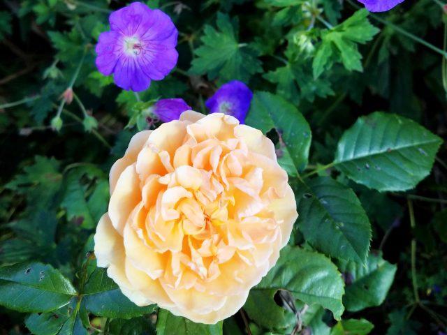 crown princess margareta rozanne