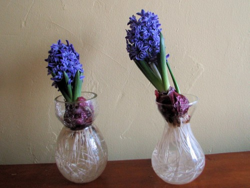 crystal palace hyacinth in glass