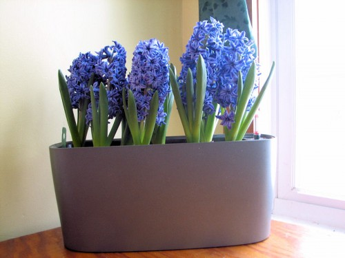 crystal palace hyacinths forced in a pot