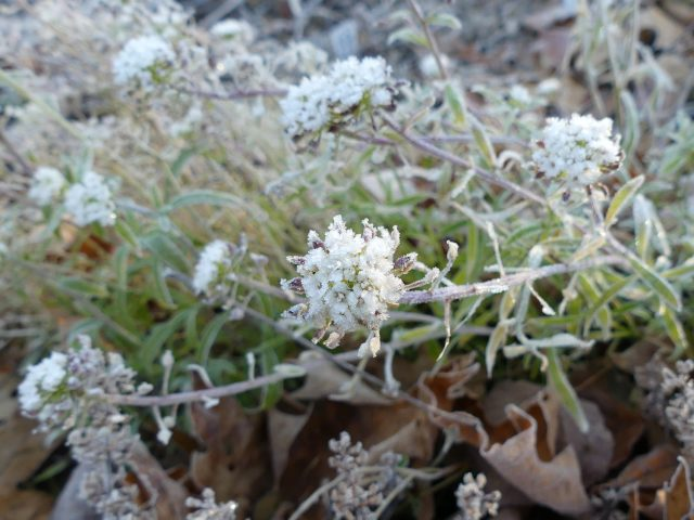 alyssum with frost on it