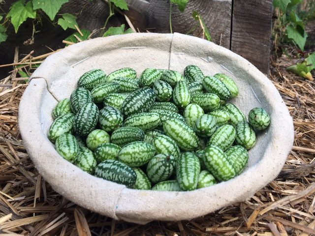 cucamelons also called Mexican Sour Gherkin