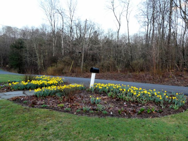 daffodils and across the road