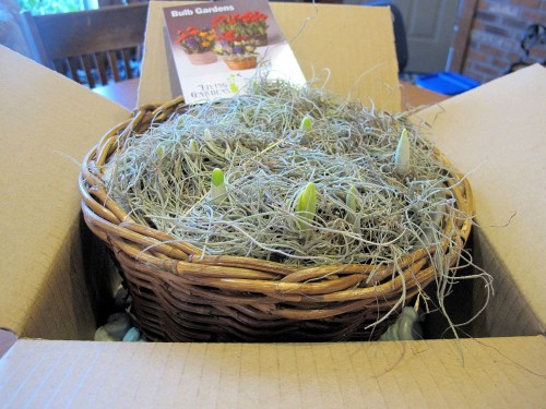 Living Gardens forced daffodils arrival