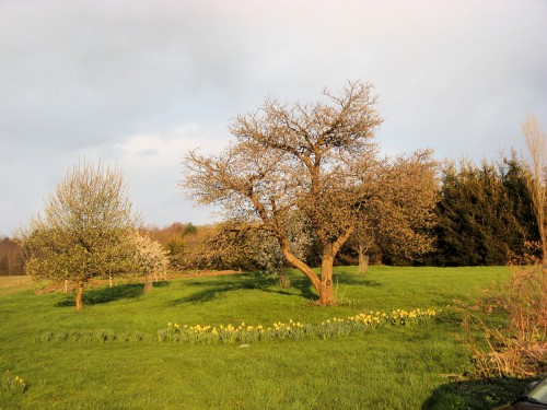Daffodils around apple tree