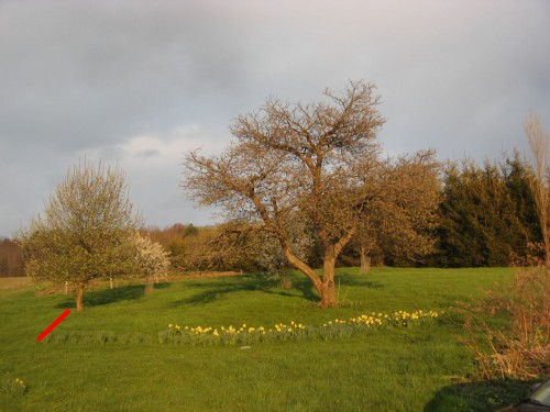 Daffodils around apple tree now following line