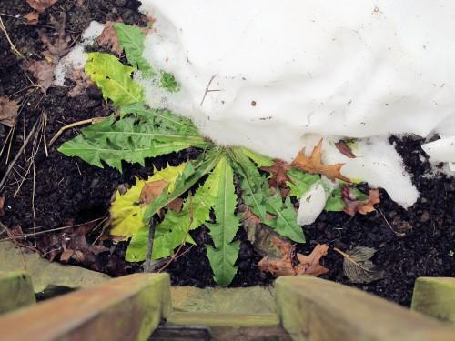 dandelion half buried