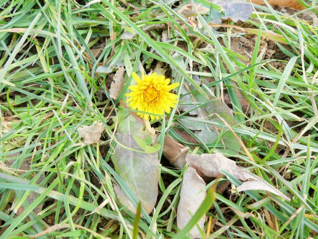 dandelion in February