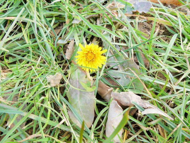 dandelion in February