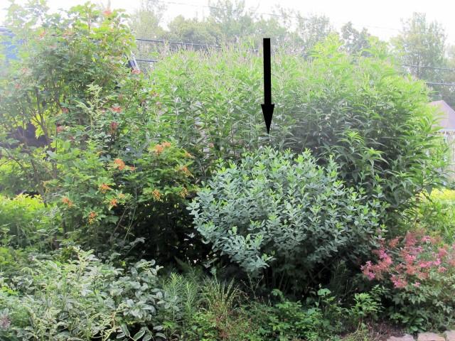 fragrant shrub daphne Bernard Carrier garden