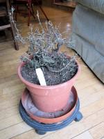 dead rosemary