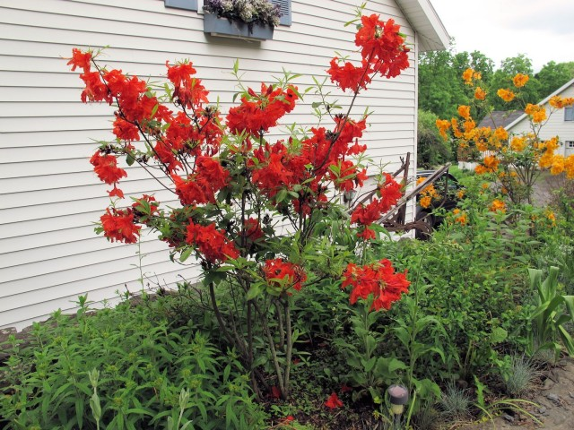 Scarlet and orange deciduous azaleas