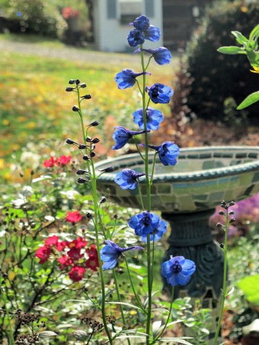 Delphinium 'Bellamosum' is a dark blue flower for your garden