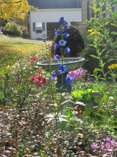 Delphinium bellamosum, Candy Oh! Vivid Red rose, Heterotheca villosa 'Ruth Baumgardner' mosaic birdbath