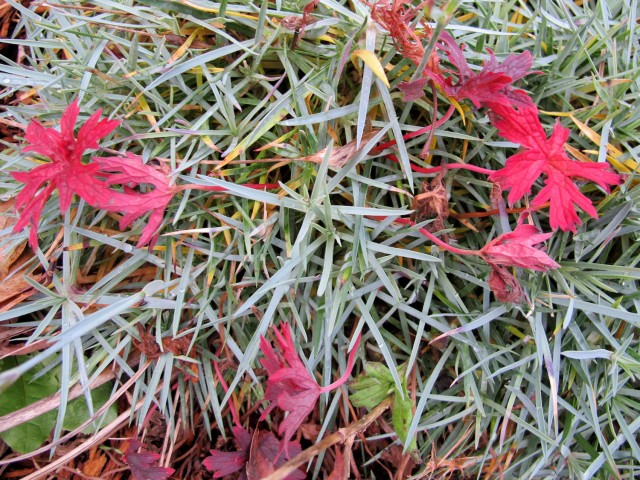 red geranium leaves and steely blue dianthus foliage