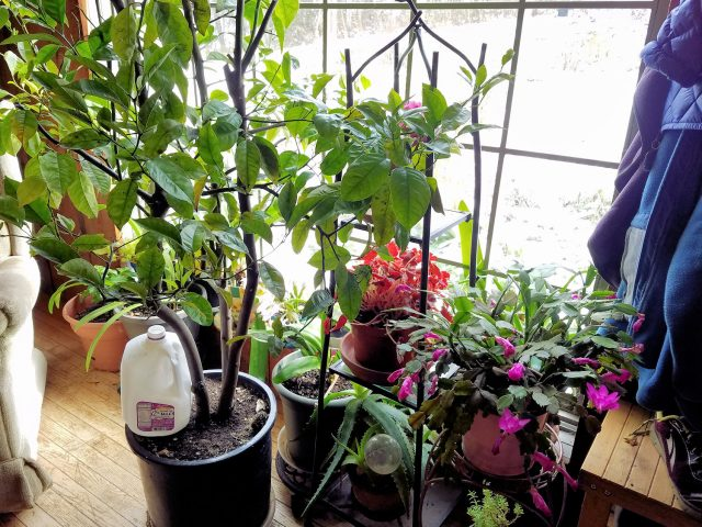 houseplants in dining room window