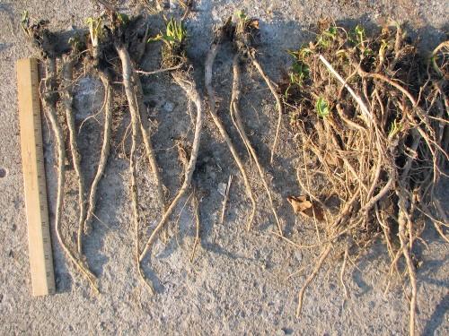 dock roots