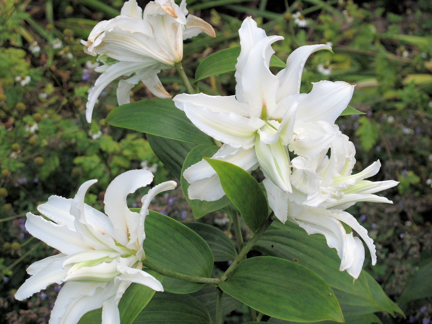 Double Oriental Lilies Do You Love Them Or Hate Them