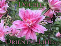 double oriental lilies featured image