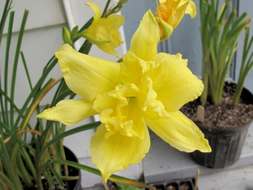 Double yellow daylily, name unknown