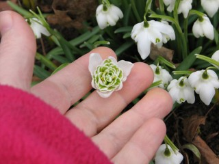 double snowdrop detail of blossom
