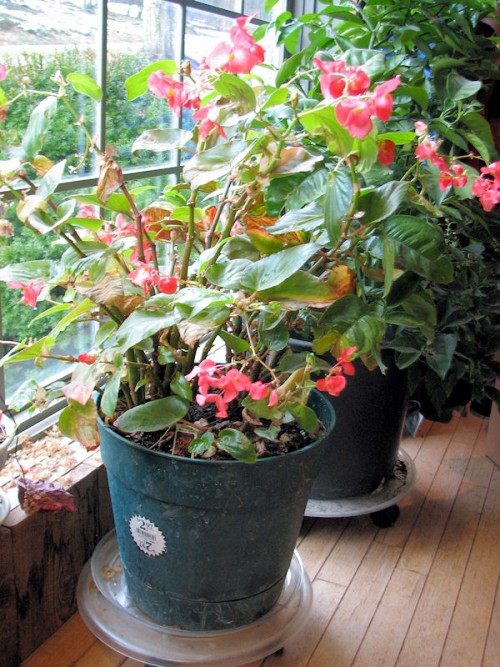 Red Dragon Wing Begonia