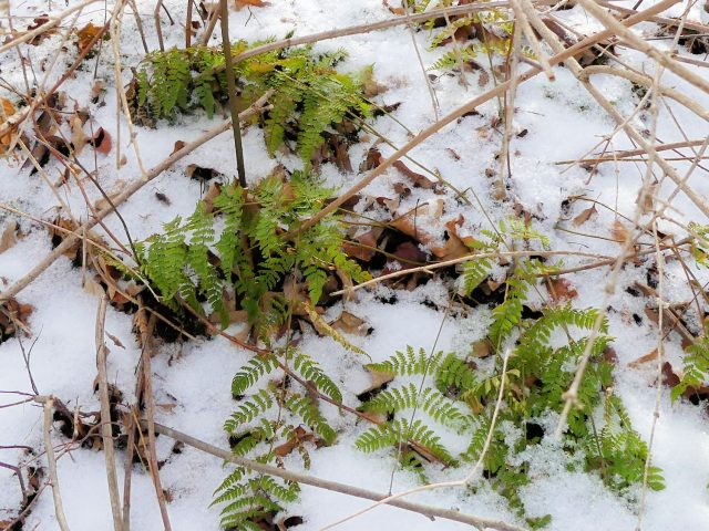 dryopteris intermedia in snow
