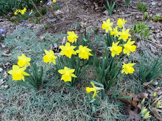 earliest big daffodils