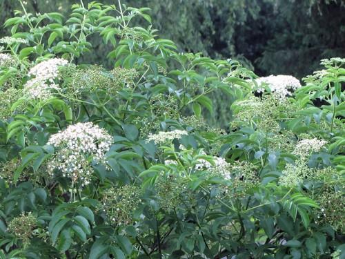 American elderberry, Sambucus canadensis