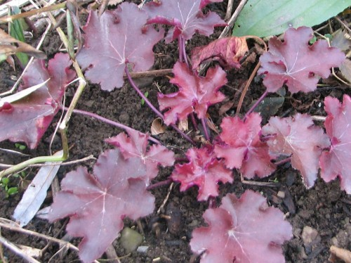 'Mahogany' heuchera, another trial plant from Terra Nova Nurseries.