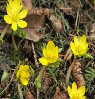 eranthis at Lilactree Farm