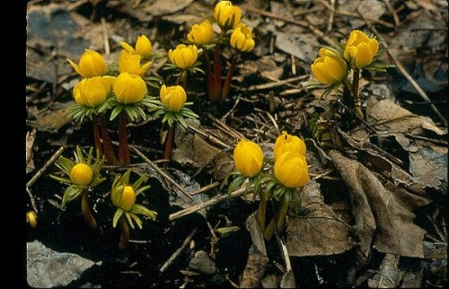 eranthis or winter aconite