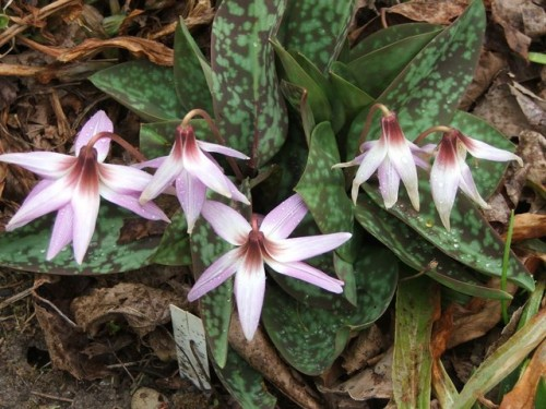 Erythronium dens-canis at Lilactree Farm