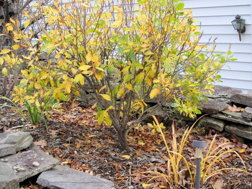 fall foliage clethra summersweet