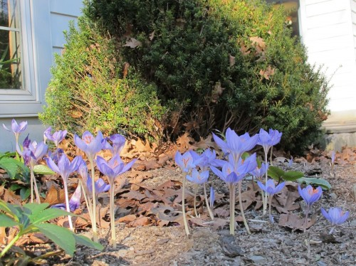 Fall blooming crocus - Crocus speciosus