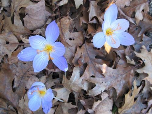 Fall Crocus speciosus 'Oxonian'