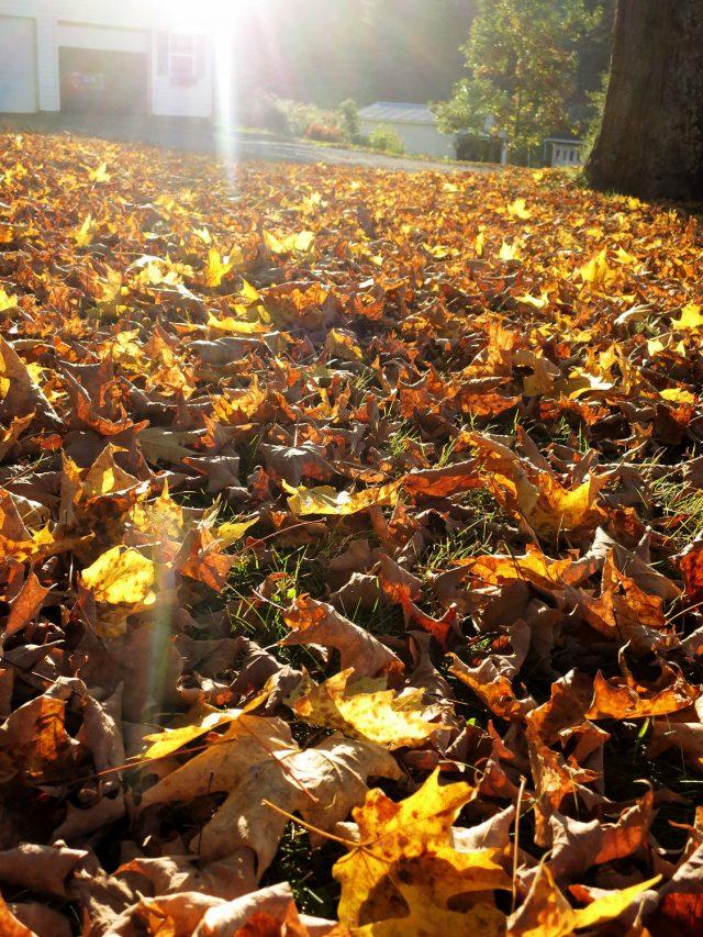 fallen leaves from maple