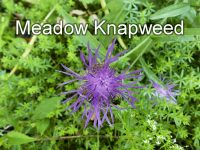 featured-image-meadow-knapweed