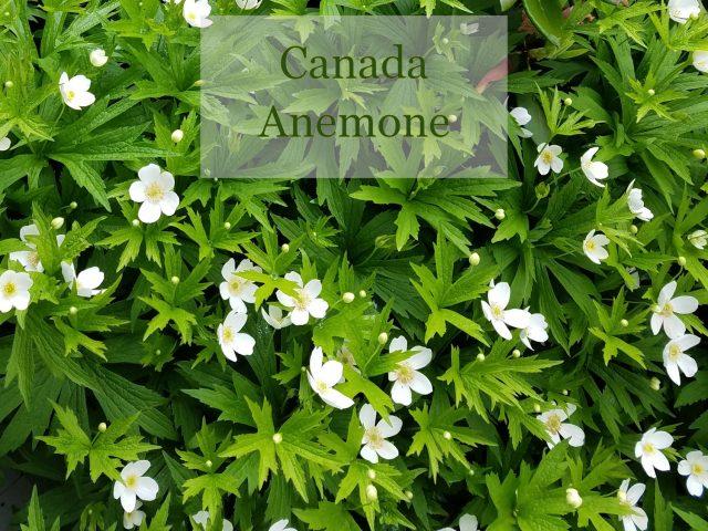 Canada anemone