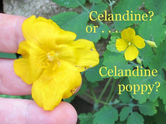Celandine or celandine poppy wildflower wednesday mightylinksfo