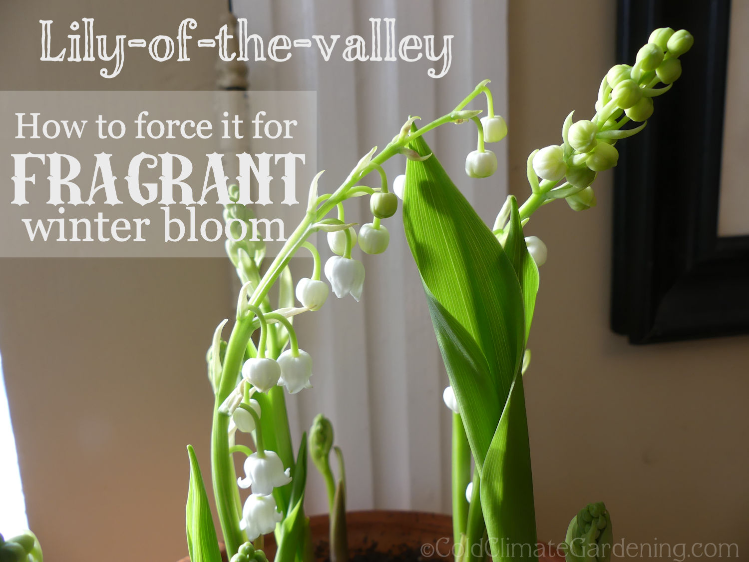 How To Have Fragrant Lily Of The Valley In The Middle Of The Winter