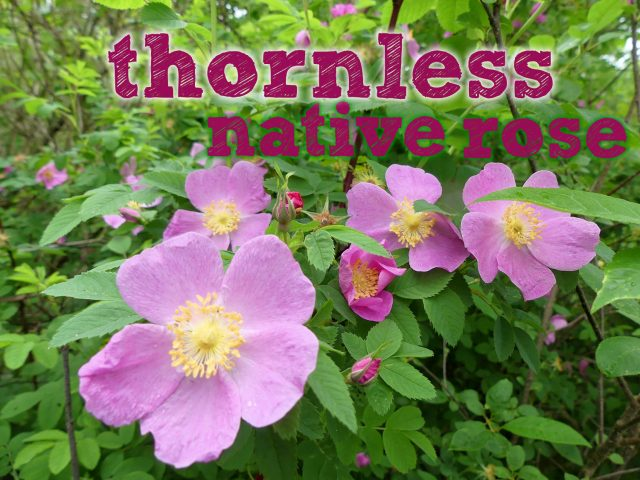 A Thornless Native Rose: Wildflower Wednesday