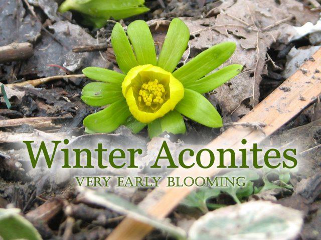 Winter aconites plant the earliest flowers where the snow melts first winter aconites plant the earliest flowers mightylinksfo
