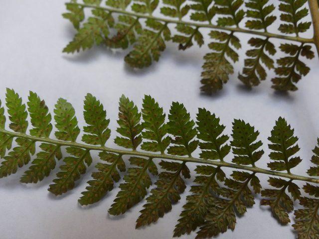 wood fern frond