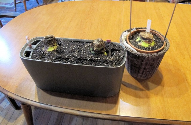 Here's what the amaryllis bulbs looked like when I was done potting them up.