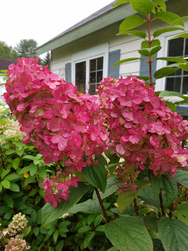 fire light hydrangea