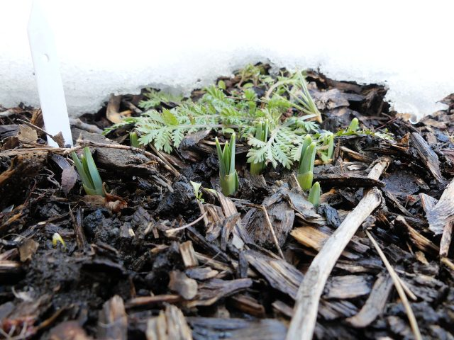 first snowdrop sprouts